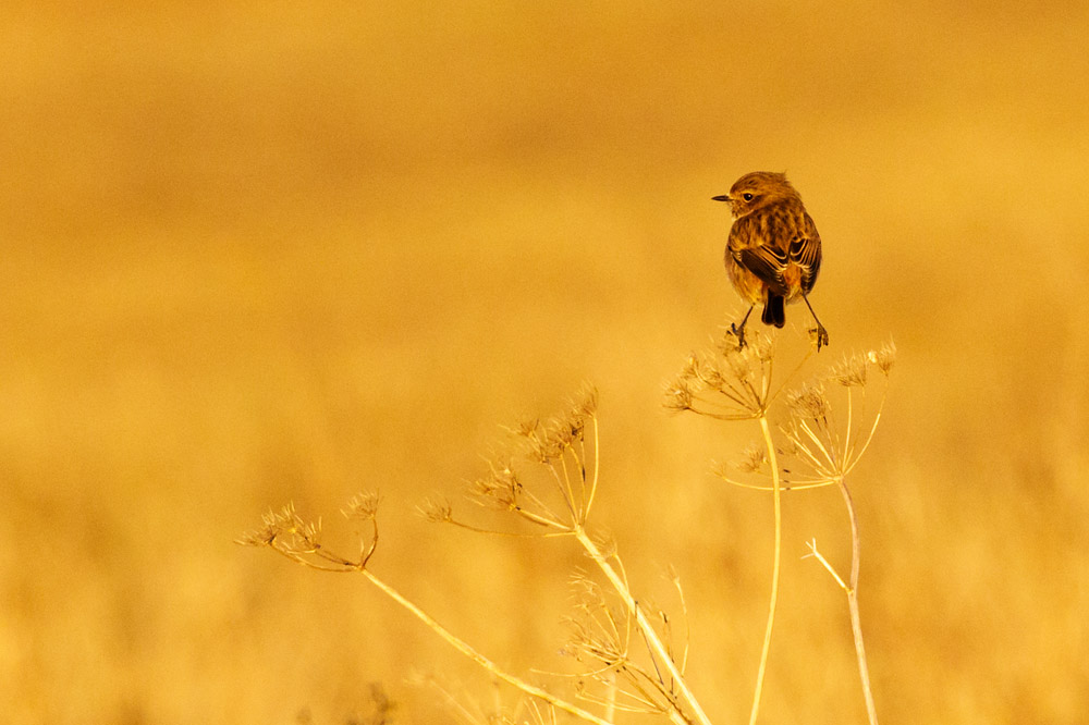 Stonechat at Sheepcote Valley