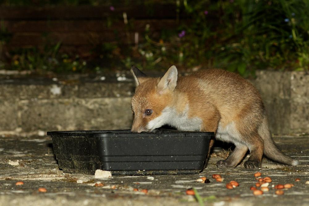 fox cub drinking