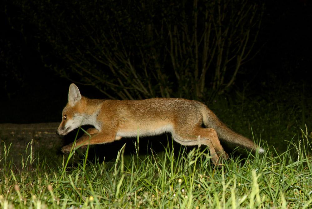 fox cub running