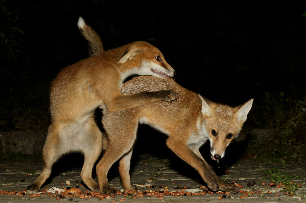 fox cubs fighting