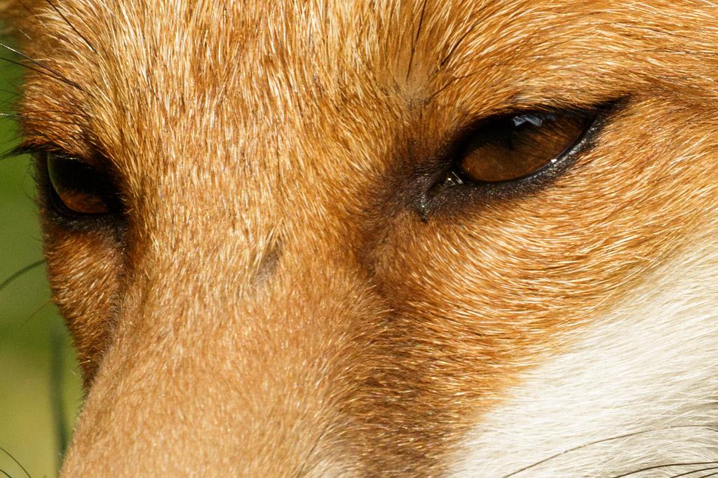 Fox cub eye