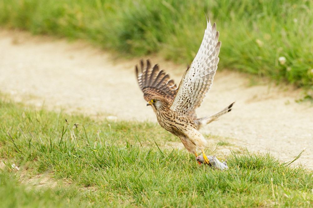 kestrel and prey