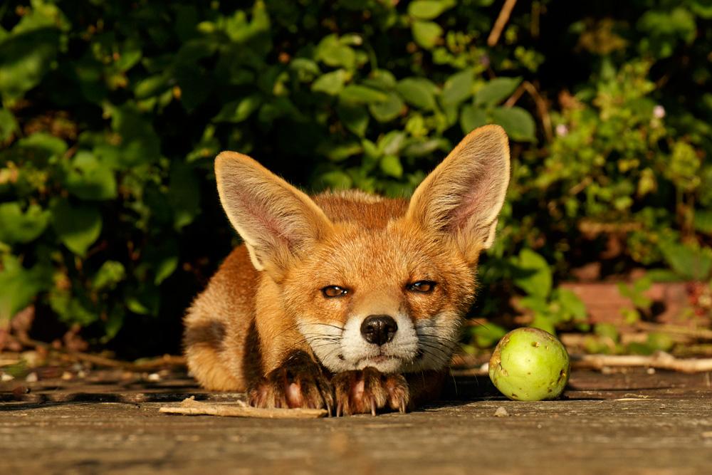 fox cub and apple