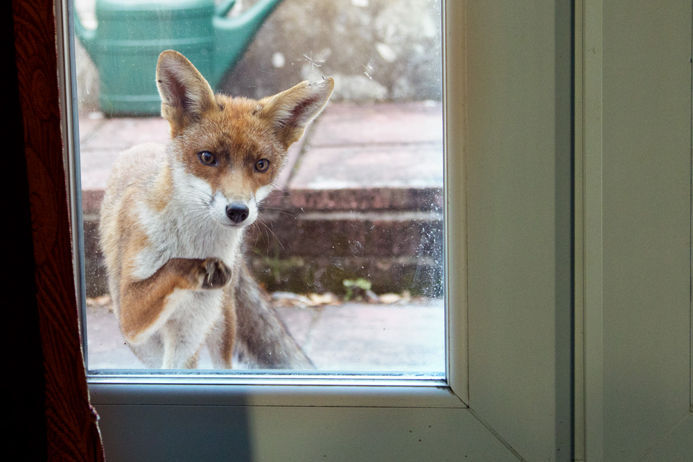 fox at back door