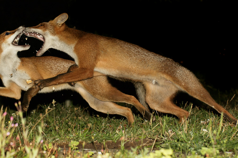 fox cubs fighting