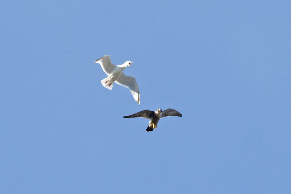 Peregrine falcon and gull