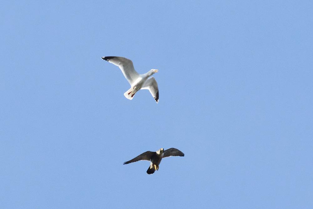 Peregrine falcon and gull