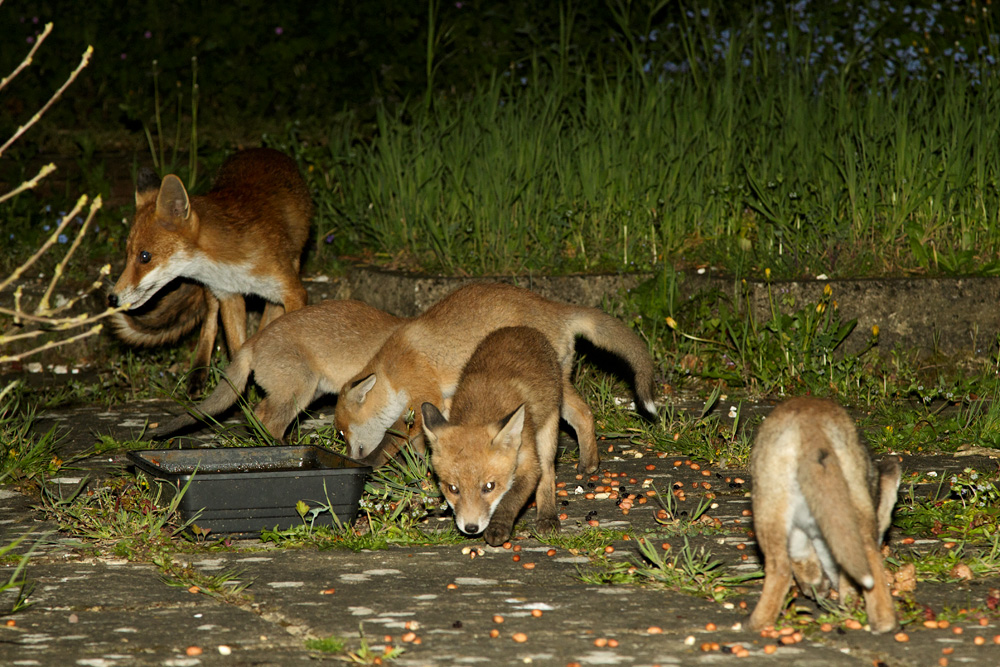 four fox cubs