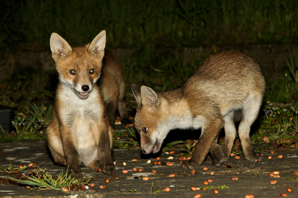 3 fox cubs