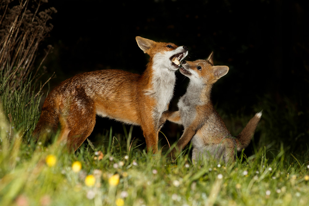 vixen and fox cub