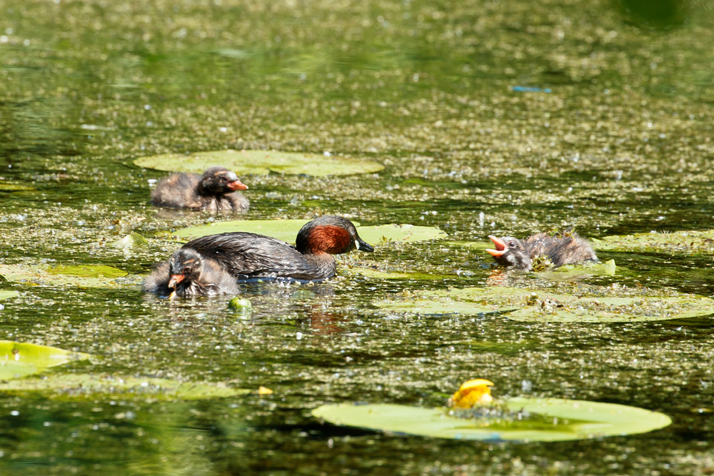 Little Grebe and chicks