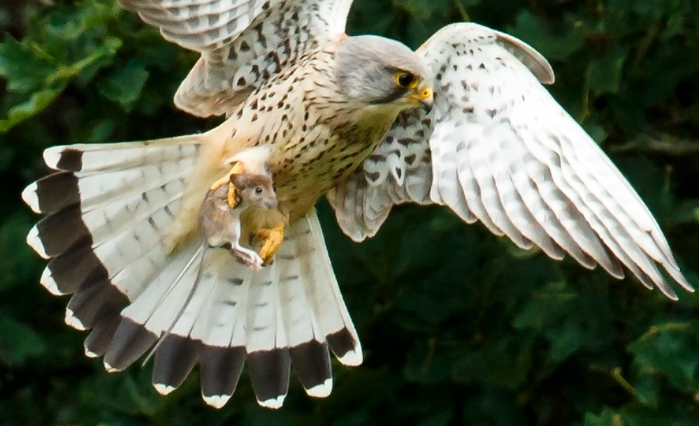 kestrel with prey (wood mouse)