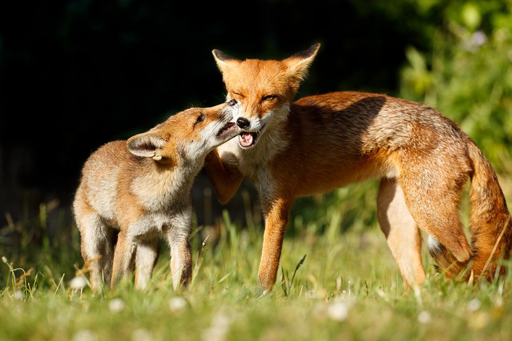fox cub and vixen