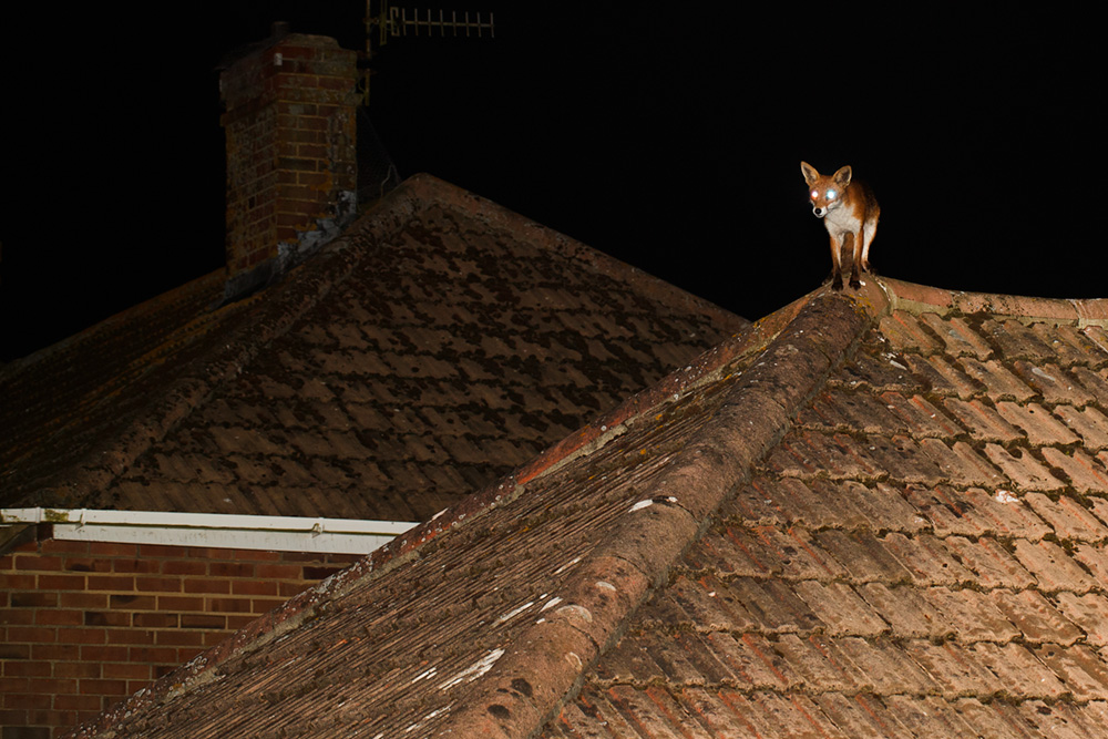 fox on roof