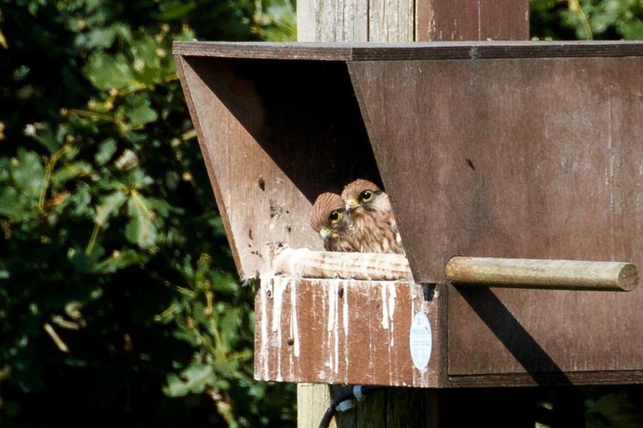 kestrel chicks