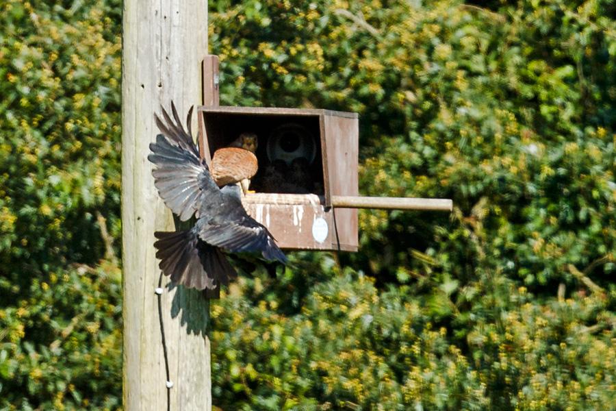 crow attacking kestrel nest box