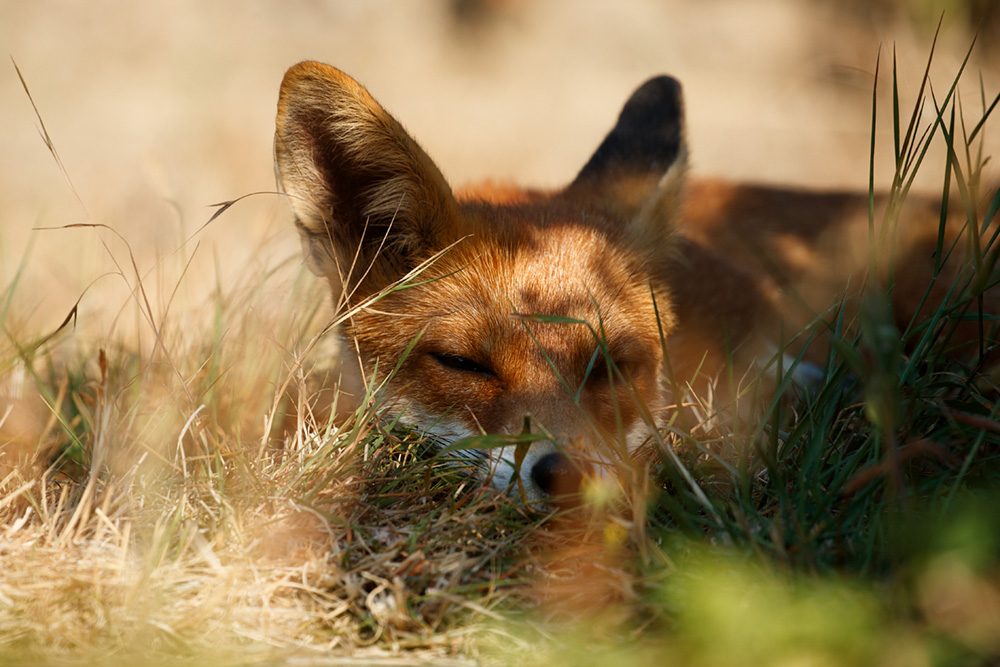 fox relaxing in the sun
