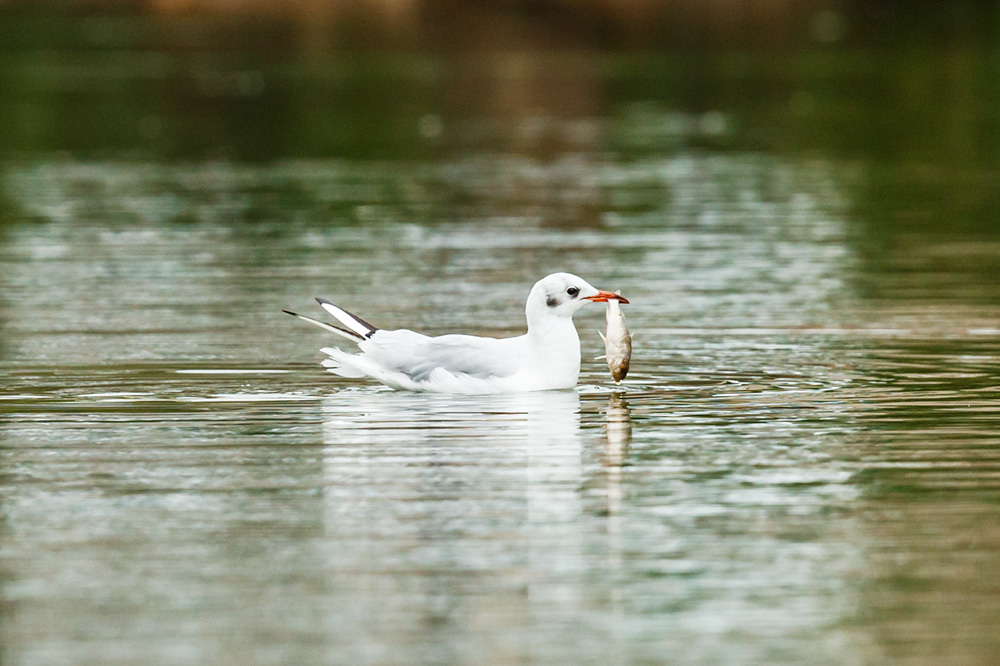 Black-headed gull at Falmer Pond, with fish