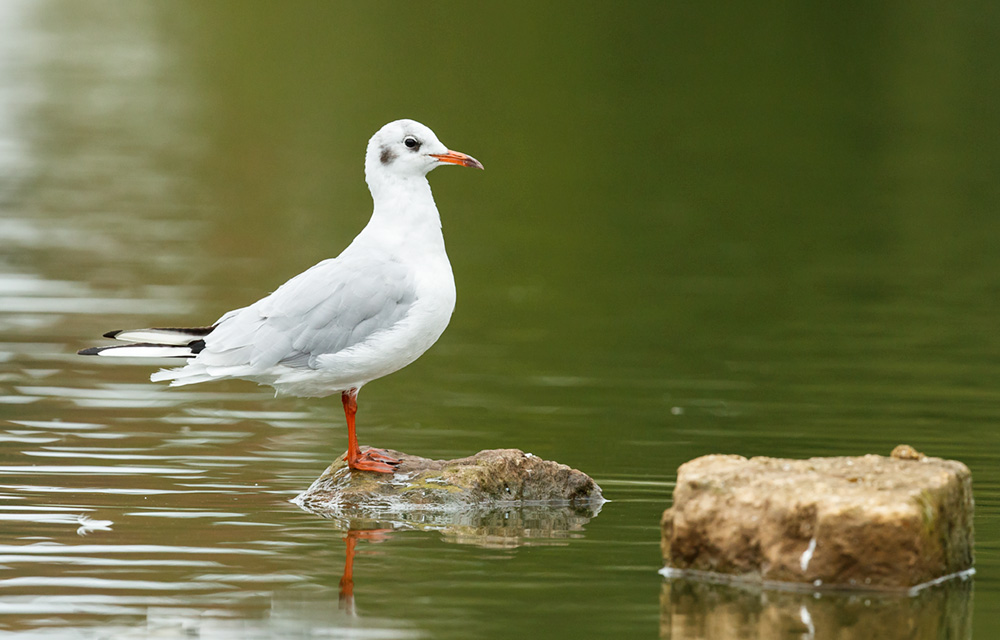 black-headed gull on rock