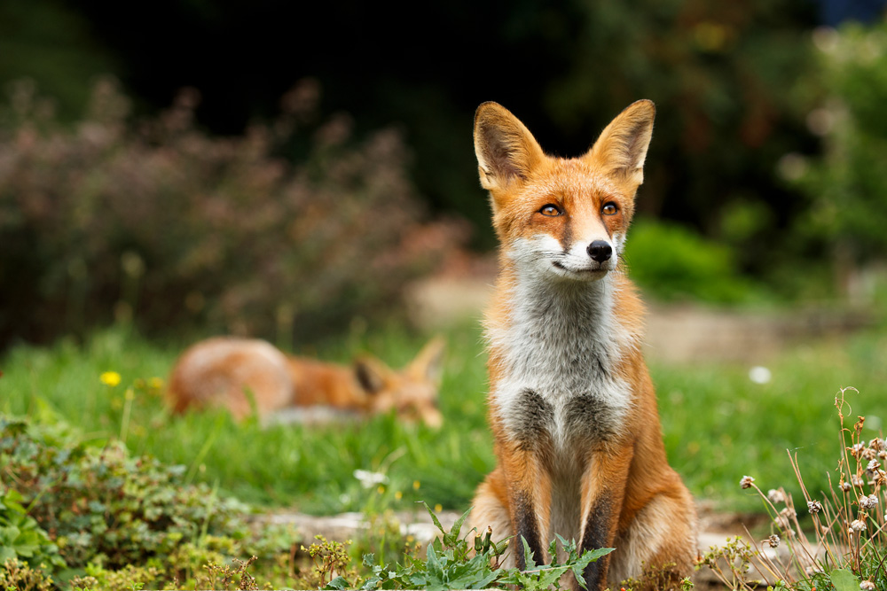 fox sitting in foreground with second fox in background