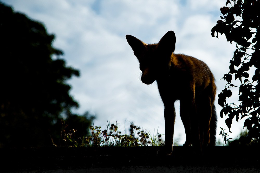 Scamp, the young vixen in silhouette