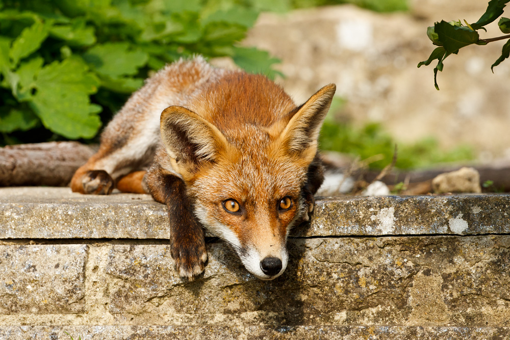 fox leaning over steps