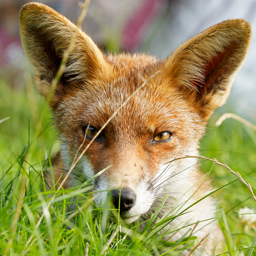 fox in long grass (portrait)