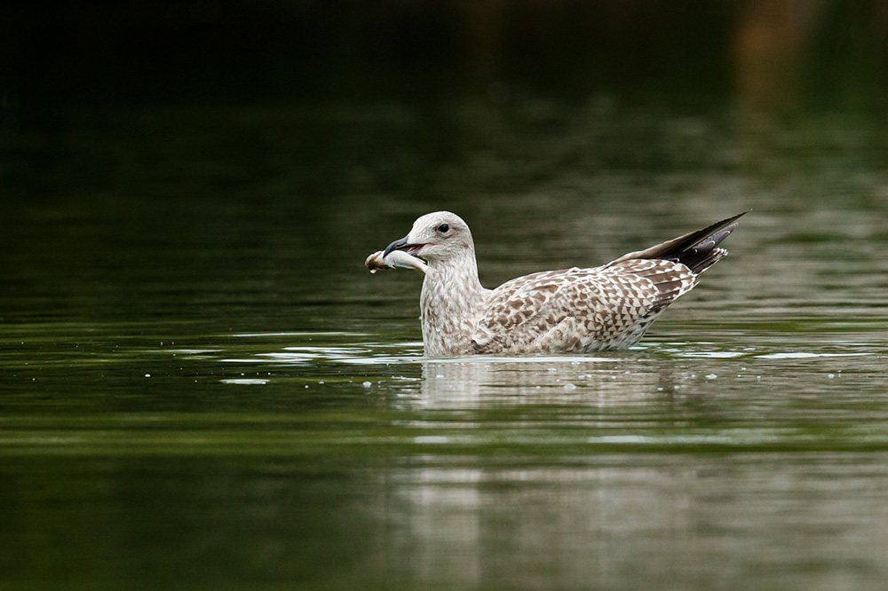 juvenile herring gull with fish