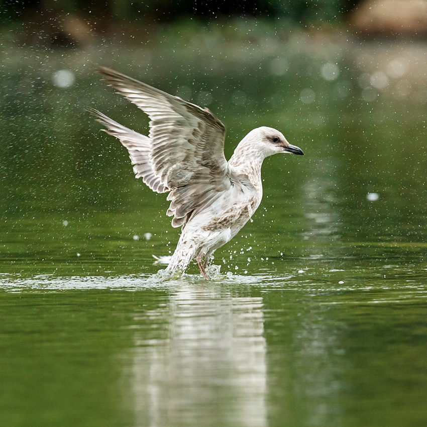 juvenile herring gull splashing