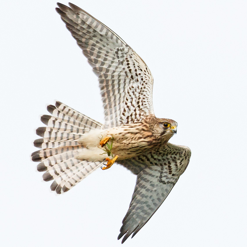 kestrel with cricket