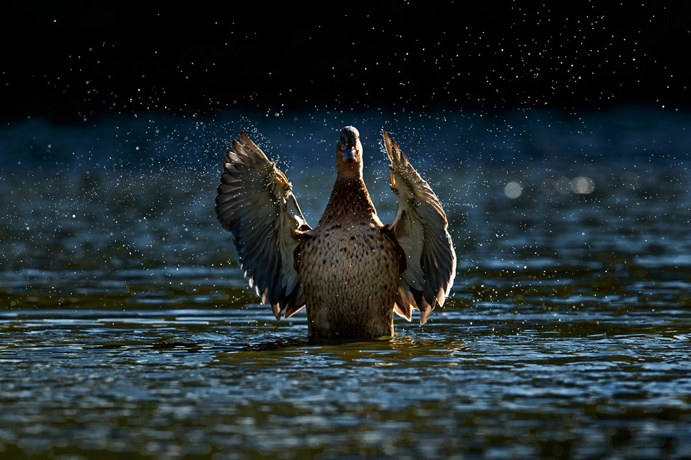 duck splashing with wings raised