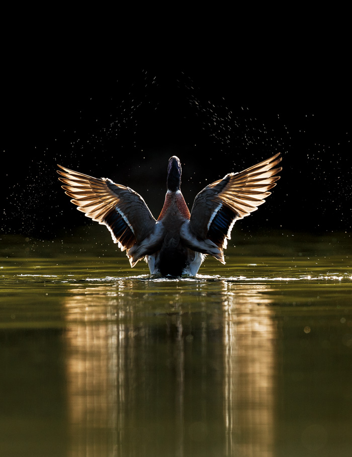 Male mallard, with wings extended