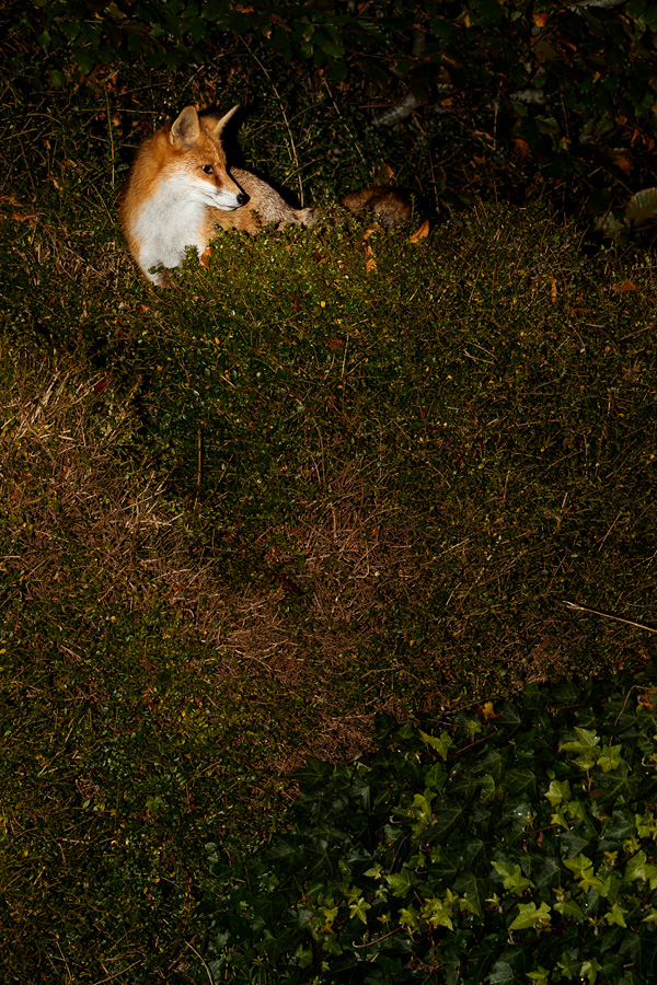 fox on the top of garden hedge