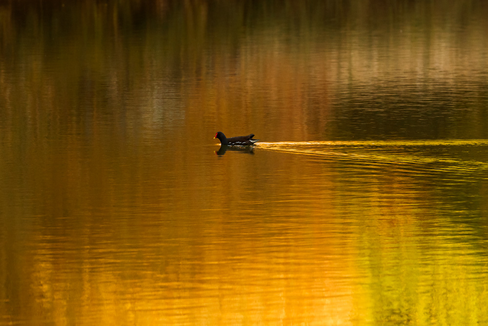 moorhen on golden pond