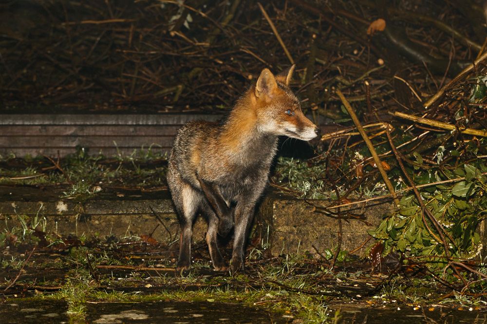 fox with injured leg