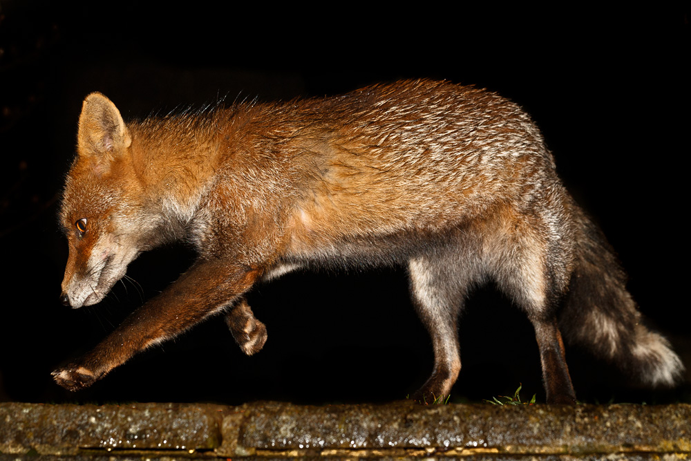 fox running with injured leg