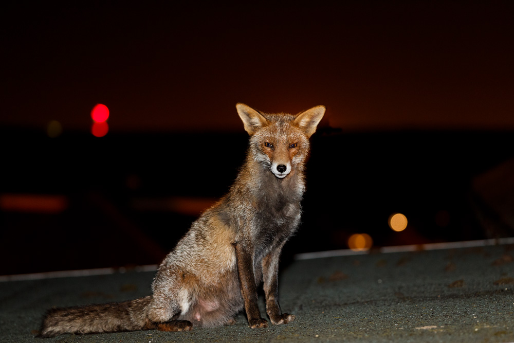 Vixen on roof