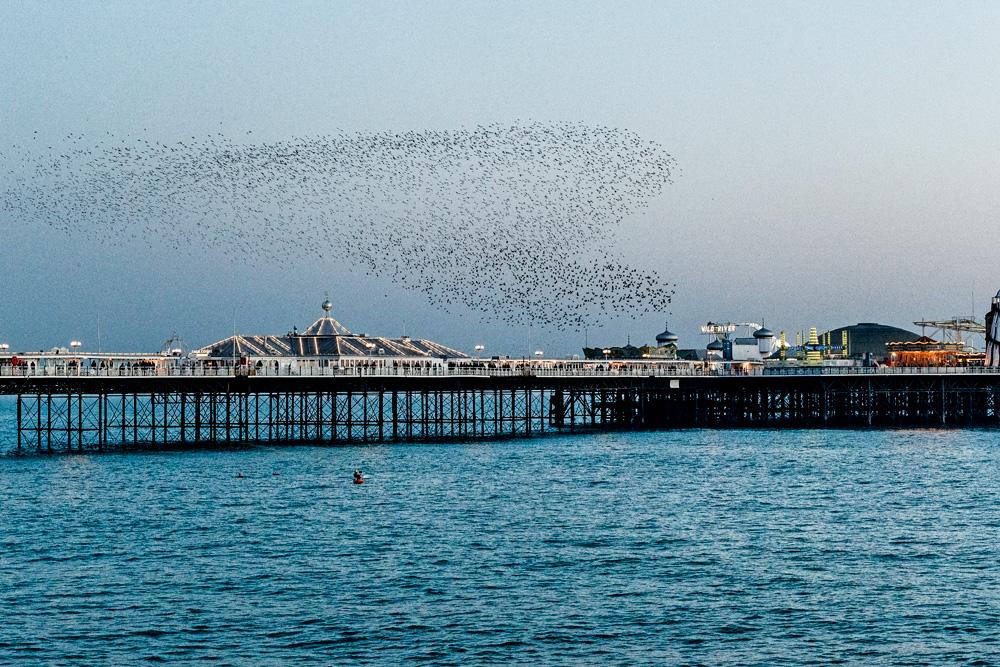 murmuration of starlings at Brighton