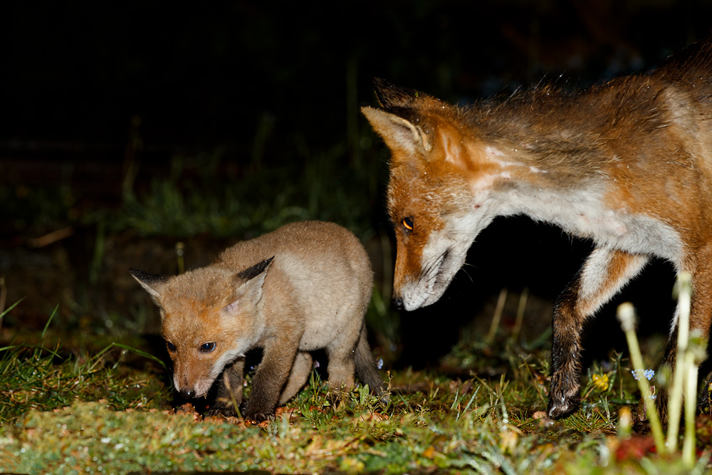 fox cub and vixen