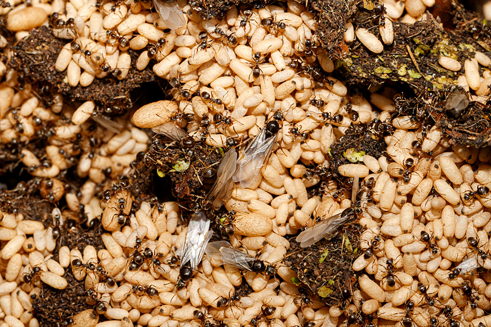 ant colony with winged ants