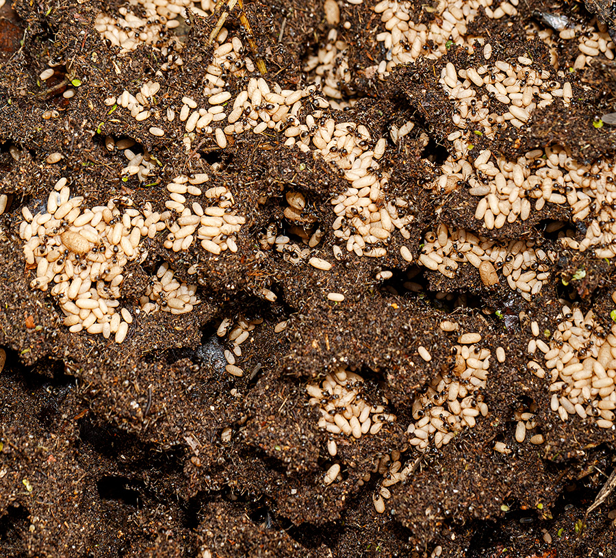 ant colony with eggs