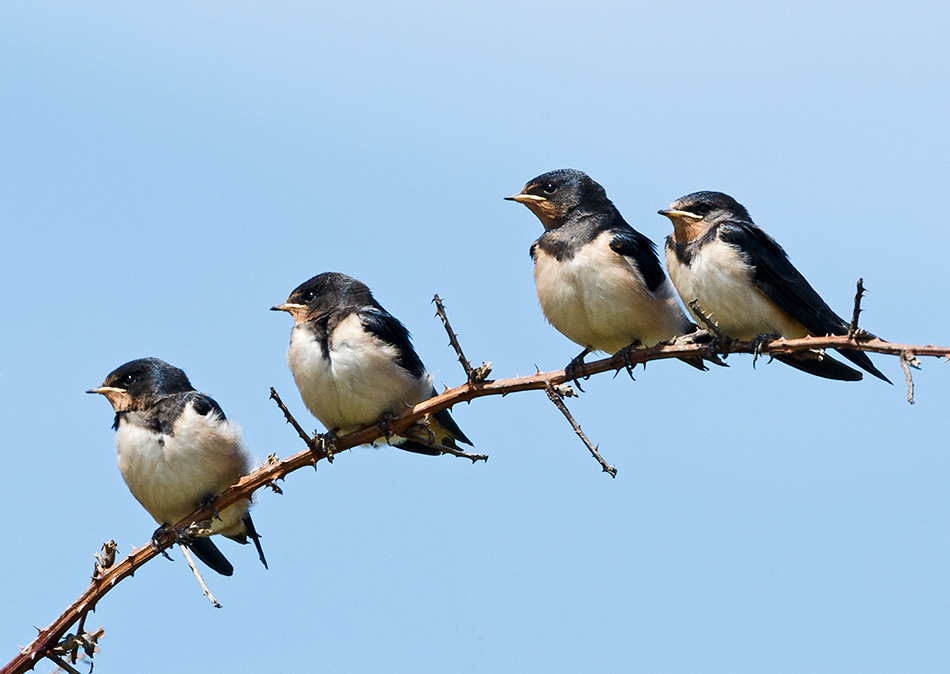 fledgling swallows