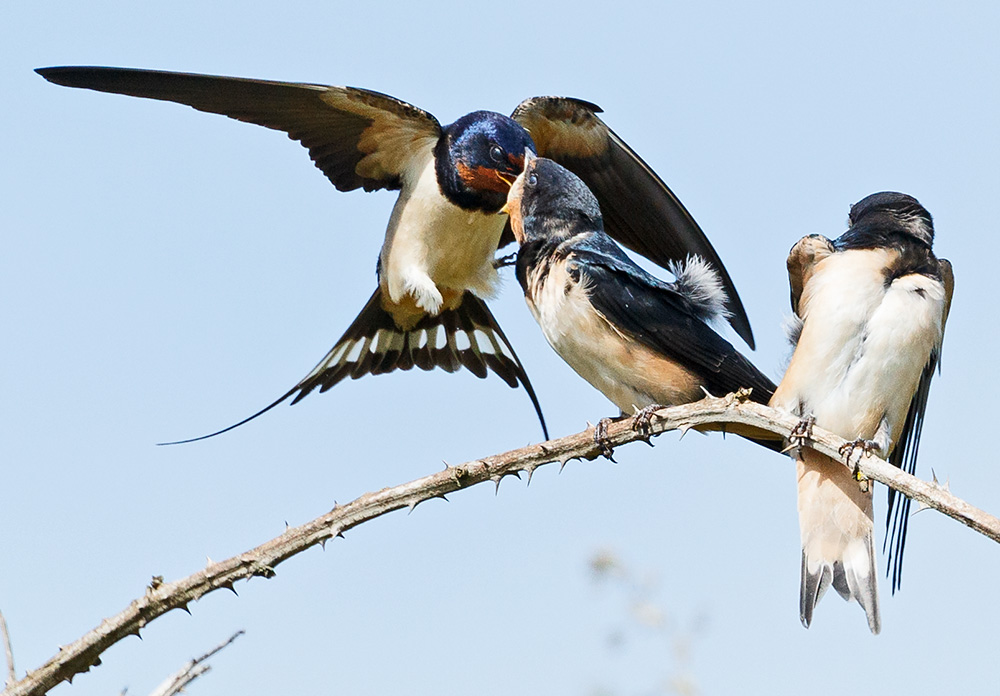 adult swallow feeding fledgling