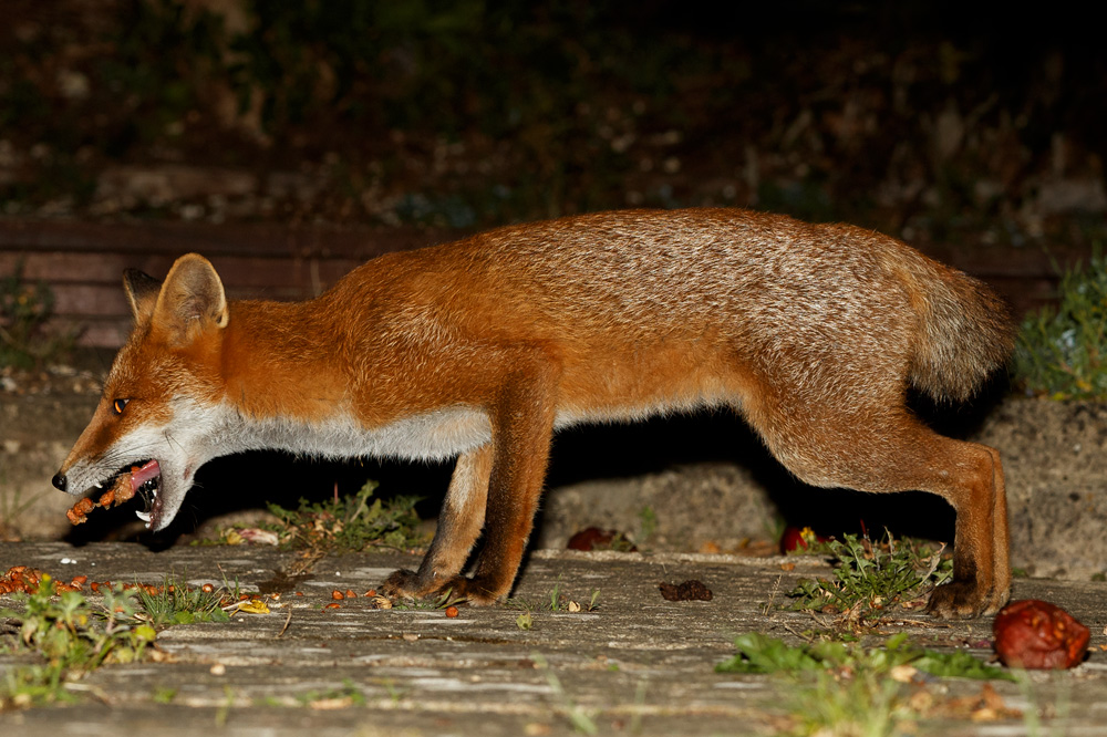 fox with partially missing brush