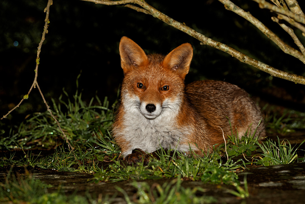 young fox lying down