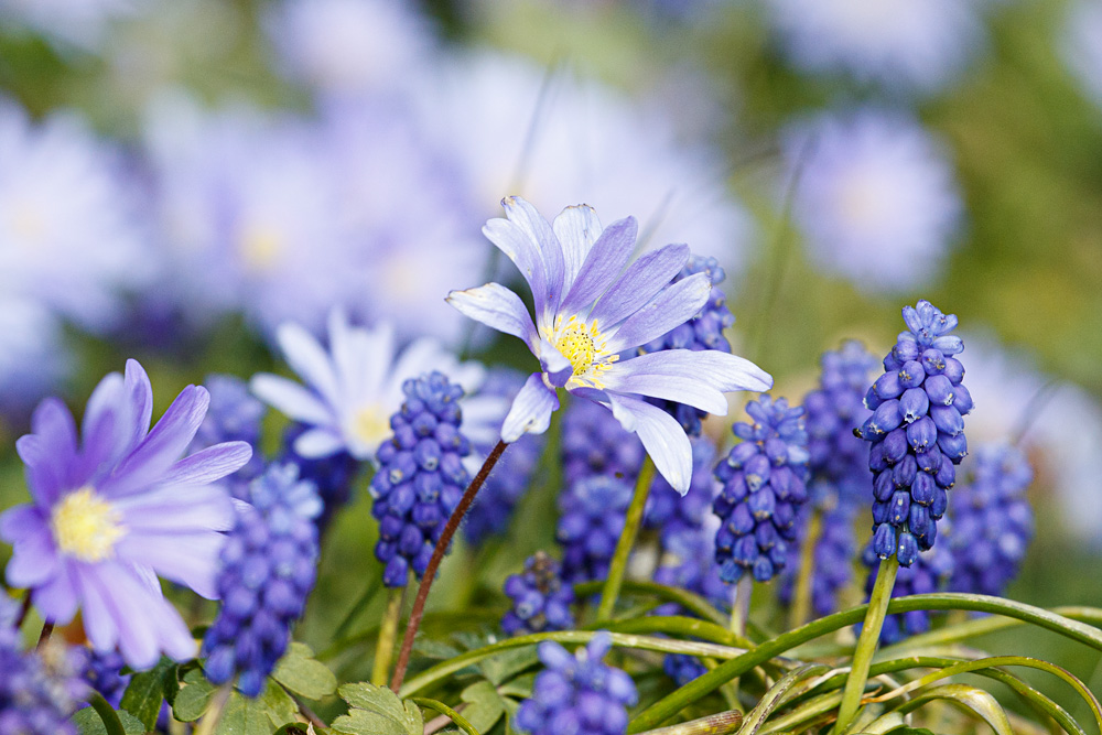 grape hyacinth and anenome