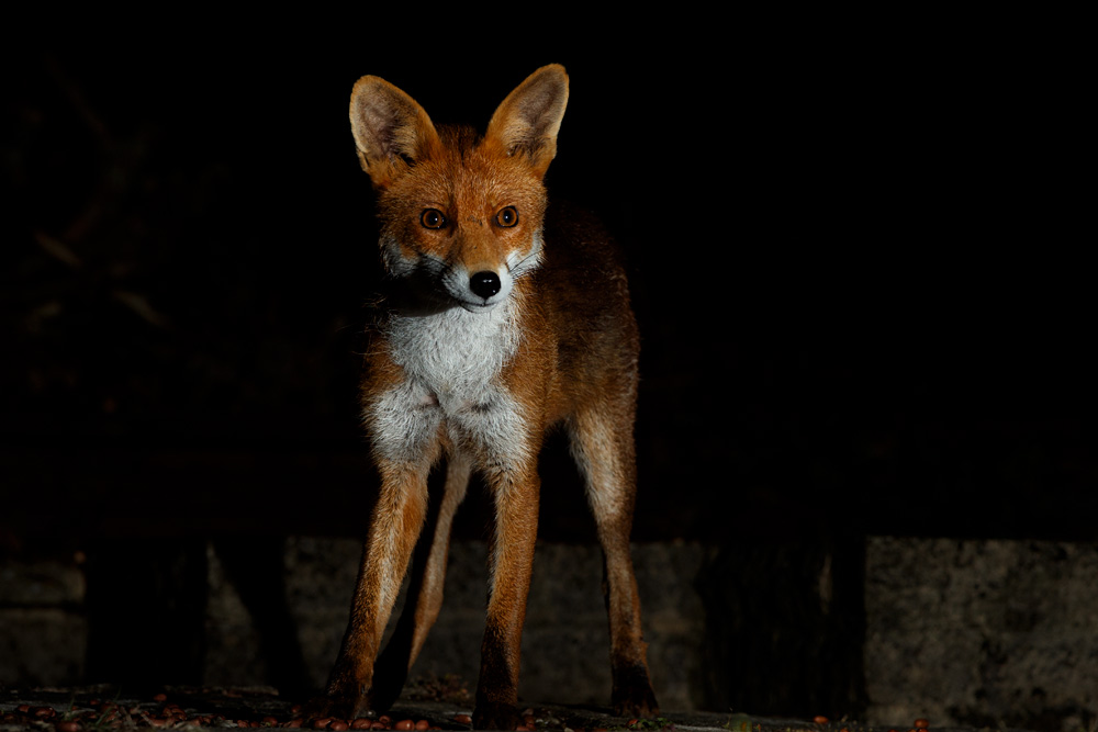 young male fox