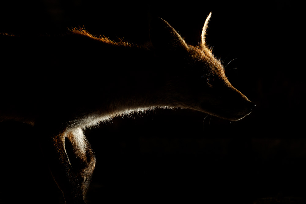 backlit profile of a fox